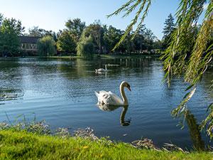 Gervasi's resident swans glide across the peaceful lake