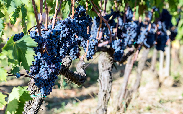 Sangiovese grapes in the Chianti region of Tuscany