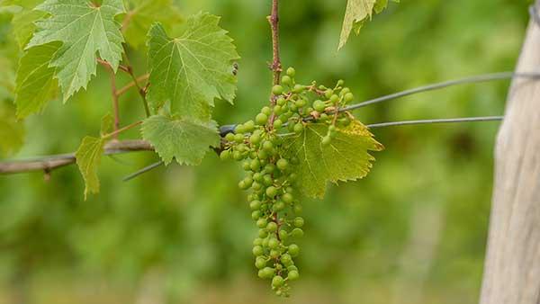 Gervasi Vineyard Grapes