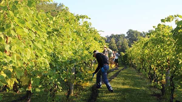 Picking Grapes at Gervasi Vineyard