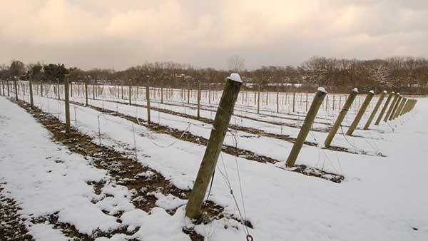 Gervasi Vineyard in the Winter